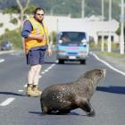 A New Zealand fur seal is coaxed across Dunedin's Portsmouth Dr by Fulton Hogan maintenance...