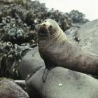 A New Zealand fur seal. Supplied photo