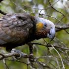 A newly-released kaka native parrot explores its new home at the Orokonui Ecosanctuary. Photo by...