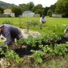 A Port Chalmers community garden patch gets some attention. Photo from ODT files.