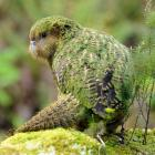 A proposed Trans-Pacific trade deal could help save the kakapo and other at-risk species, a US...