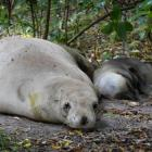 A  sea lion relaxes with her newborn pup on a track to a Dunedin beach yesterday. Photo by Gerard...