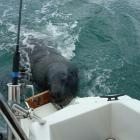 A sea lion tries to board a small recreational fishing boat in search of food in Otago Harbour...