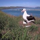 A still image from a web cam trained  on an albatross nest at Taiaroa Head. The last egg hatched...