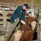 A Tbfree New Zealand technician tests cattle on a North Island farm. Photo supplied.