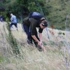 A  volunteer removes wilding pines at Mid Dome. Photo supplied.