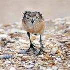 A young New Zealand dotterel chick is one of the striking close-up images in Native Birds of New...