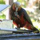 An adult male kaka at an Orokonui feeding station. Photo by Neville Peat.