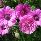 Anemones are hardy corms that grow well throughout Otago and Southland. Photo: Gillian Vine