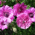 Anemones can be grown from seed as well as by planting corms. Photo by Gillian Vine.