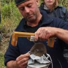 Ant Smith measures a yellow-eyed penguin chick at the Yellow-eyed Penguin Trust's Long Point...
