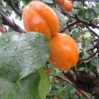 Apricots, as well as cherries, could be damaged by the persistent rain. Photo by Sarah Marquet.
