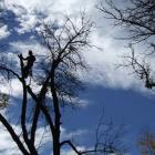 Arborist Ben Stenner works to remove dead foliage from a silhouetted ash tree, which is one of...