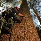 Arborist Drew Bristow, of Auckland, climbs New Zealand's tallest tree, an 80m eucalyptus in the...