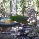 Banner, the male Antipodes Island parakeet, settles into his new enclosure at the Kiwi Birdlife...