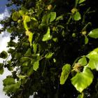 Beech tree and fruit Photo by Gerard O'Brien.