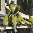 Bellbirds flock to the sugar-water dispenser. Photos supplied.