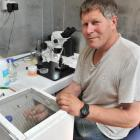 Betta Bees project manager Frans Laas catches drone bees and collects sperm from them  for the...