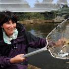 Betty Mason-Palmer nets a handful of some of the 80,000 smolt that are destined for release in...