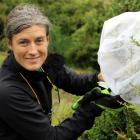 Biocontrol contractor Jesse Bythell releases Chilean weevils on to a Darwin's barberry plant near...