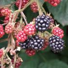 Blackberries need to be pruned after fruiting. Photo: Gillian Vine