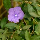 Brunfelsia latifolia. Photo by Gerard O'Brien.