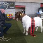 Buck . . .Oamaru goat breeder Owen Booth is proud of his buck named Viking, which won supreme...