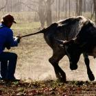 Bull catcher Shane O'Loughlin hopes his job catching wild cattle in Western Australia will be...