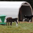 Calves are thriving on the pasture already springing up in North Otago, as these Papakaio...