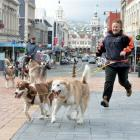 Canadian eskimo dogs Mawson and Clara take owner Rose Voice, of Real Dog Equipment, Ranfurly, for...