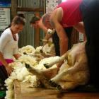 Chiquita Tamepo, of Winton, competes in the Melrose Station Junior Woolhandling competition while...