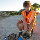 Cleaning the beach at 6.45am yesterday was Downer EDI employee Debbie Meek, of Alexandra. Photo...