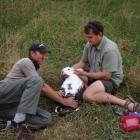 Conservation Department ranger Colin Facer (left) and Royal Albatross Centre head ranger Lyndon...