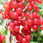 Red and white currant bushes are pruned differently from blackcurrants. Photo by Gillian Vine.