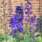 Cut delphiniums back after blooming and they will produce new flower spikes. Photo by Gillian Vine.