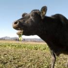 dairy_cows_6__290606_dawber.JPG