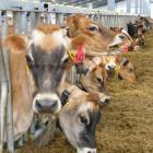 Dairy cows enjoy high-quality feed mixed to their own ...