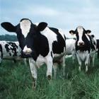 dairy-cows_Medium.jpg