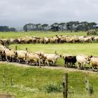 Dairy farmers' Fonterra shares could provide them with a windfall.  Photo from DairyNZ.