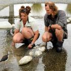 Department of Conservation head black stilt (kaki) aviculturist Bryan Welch and his partner, Abby...