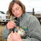 Department of Conservation ranger Cheryl Pullar feeds salmon smolt to yellow-eyed penguin chicks...