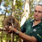 Doc kiwi team leader Neil Freer holds an elusive Haast tokoeka, captured on Rona Island in the...