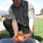 Doc ranger Daniel Jack with one of the bigger goldfish. Photos by Mark Price.
