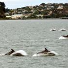dolphins_visit_otago_harbour_last_week_more_dolphi_50d22615ed.JPG