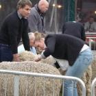 Each contestant in the  junior merino judging competition is given 30 minutes to make their...