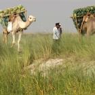 Farmers transport watermelons on their camels on the banks of the river Ganges, to sell at a...