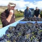 Felton Road viticulturist Gareth King tries some of the pinot noir grapes being harvested this...