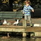 Finn Thwaites (5), of Balclutha, feeds the ducks at Naish Park yesterday. The future of the ducks...
