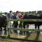 Floridale Angus stock are  washed in readiness for their classes at a previous show.