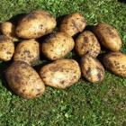 Freshly dug Agria potatoes. Agria is an excellent main-crop potato for the south. Photo by...